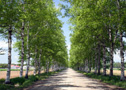Tokachi Ranch White birch lined road (Otofuke)